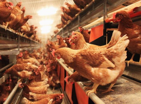 Poultry industry resilient despite bird flu outbreak – Minister